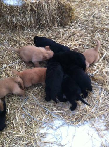 Golden Retriever/Black Lab/Boarder Collie pups