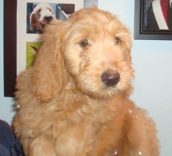 Goldendoodle puppies License #0095