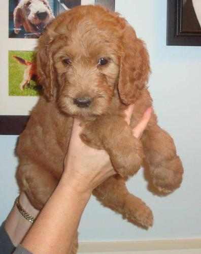 Goldendoodle puppies---small size----delivery available