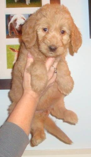 Goldendoodles-----small size