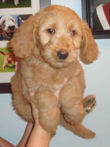 Goldendoodles----small size