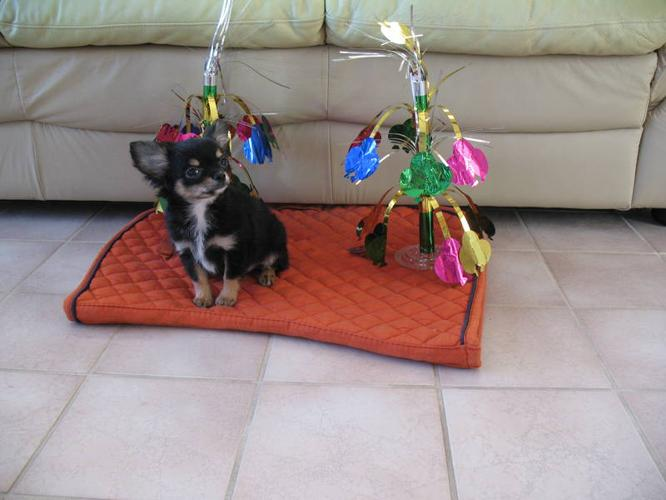 Gorgeous Black and Tan CKC Registered Male Chihuahua for Sale