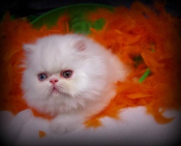 Gorgeous Persian Kittens for sale in Simcoe, Ontario - Nice Pets ...
