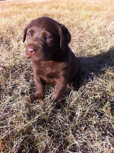 Gorgeous Pure Chocolate Lab Puppies for Sale!