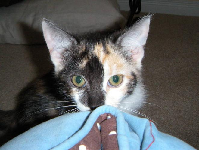 Gorgeous Rescued Calico Kittens - Vet Checked, Vaccinated, etc.