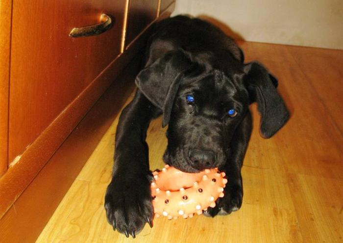 great dane/ Lab cross pups are here!