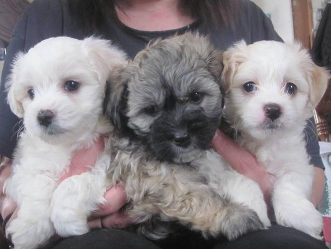 Havachon puppies ! ~~ All Boys ~~