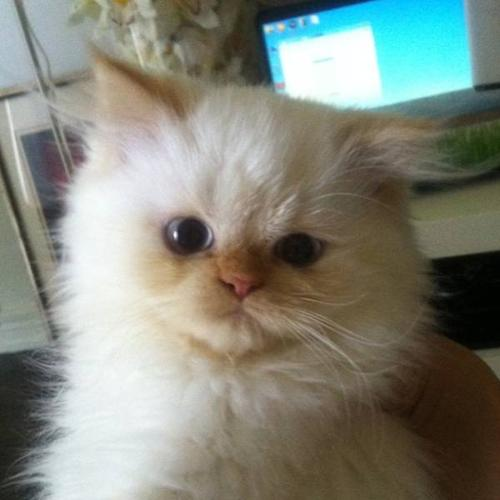 Himalayan kitten cat Persian