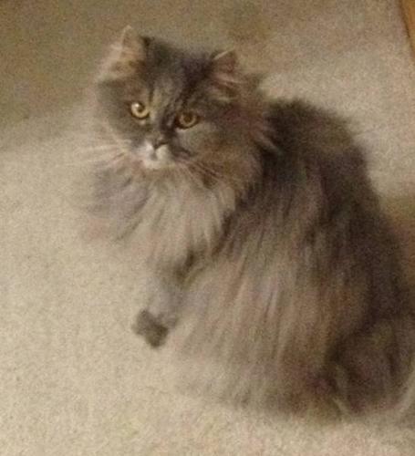 Himalayan/Persian Cat