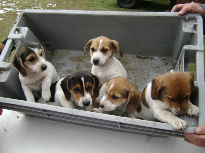 Jackabee Puppies For Sale For Sale In St Williams Ontario Nice