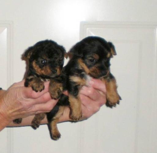 Jorkie Puppies, (Jack Russell X Yorkie) 4 females