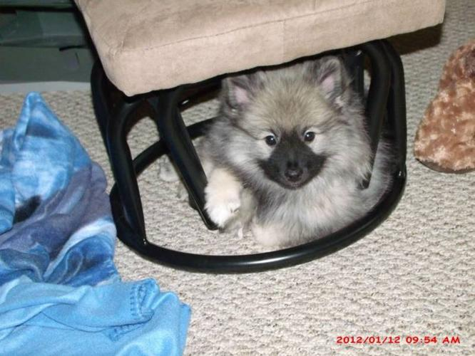 KEESHOND, FEMALE PUPPY LOOKING FOR YOU