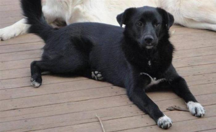 Lab-Border Collie mix for adoption through rescue