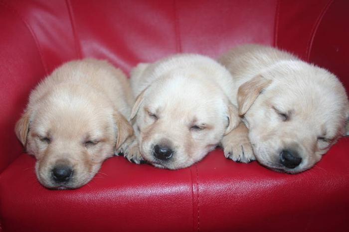 LAB/ RETRIEVER /GERMAN SHEPHERD Puppies For Sale