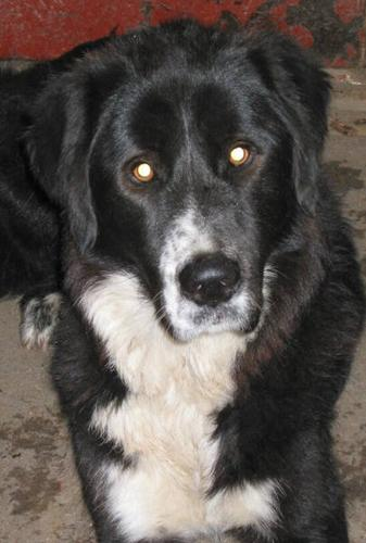 ***LARGE BORDER COLLIE-X IN NEED OF NEW LOVING HOME***