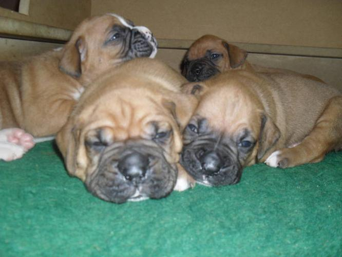 Large Boxer Puppies