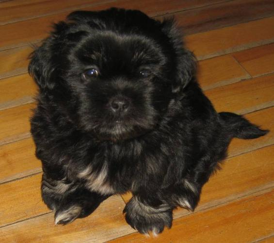 Lhasa Apso Shih Tzupomeranian Mix Puppies For Sale In Yarmouth