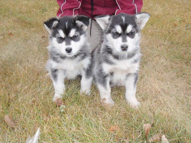 Lovable Siberian Husky X Malamute Pups For Sale In Holland Manitoba