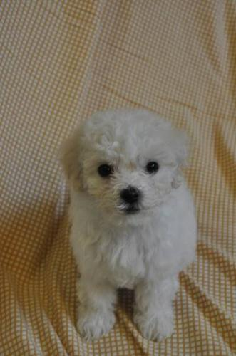 Maltese puppies ready to go for sale in Scarborough, Ontario