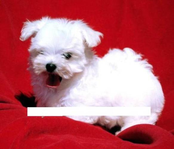Maltese puppy for sale in Goulds, Newfoundland - Nice Pets