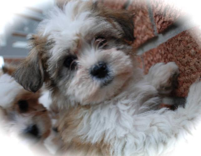 Hypoallergenic Dogs For Sale Ontario