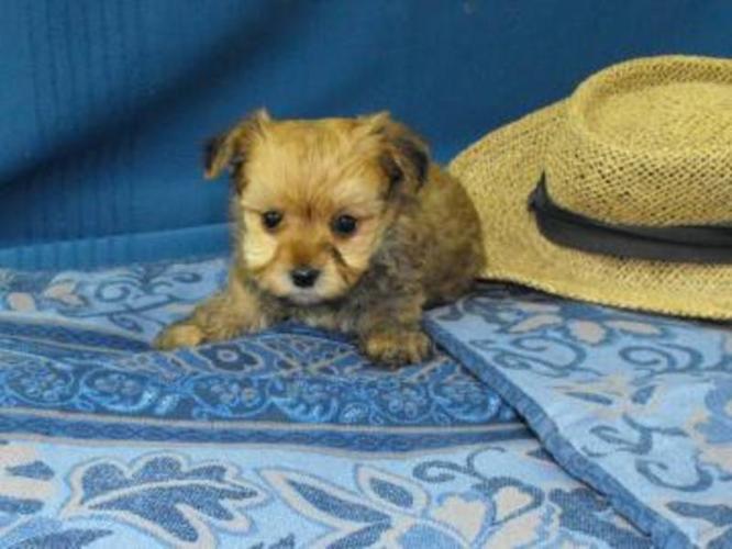 Maltese x Yorkshire Terrier