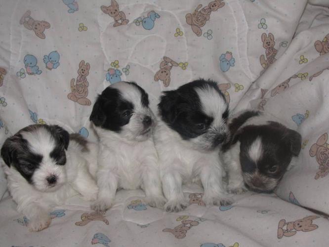 Malteseshih Tzu Puppies For Sale For Sale In Corner Brook
