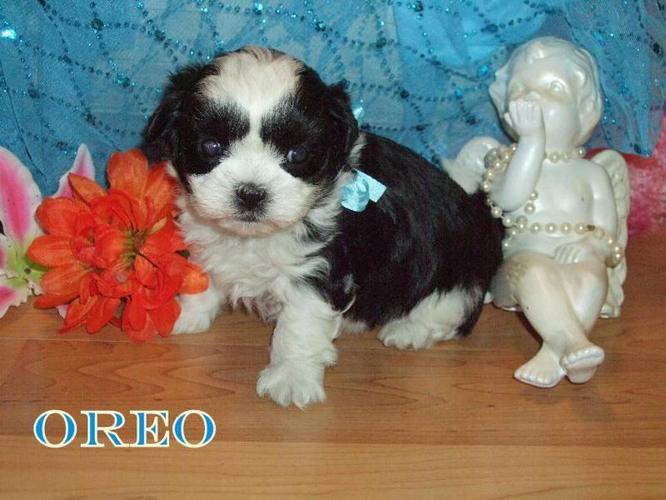 Maltese/Shih tzu Puppies