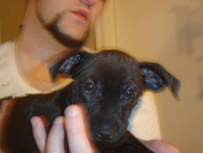 min-pin/terrier puppies for sale