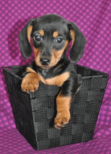 Mini-Dachshund Puppies!