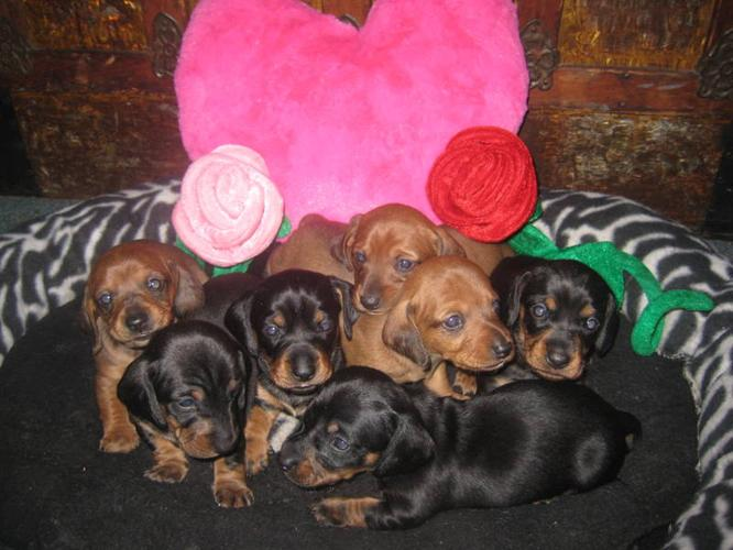 Mini Dachshund * Weiner Dogs * Dashound born Christmas Day!!!