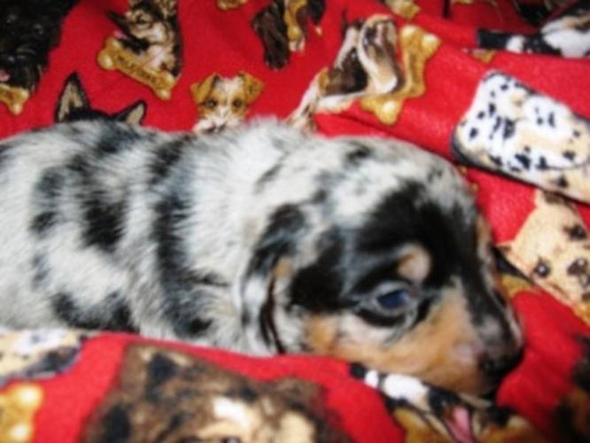 Mini Dachund Pups