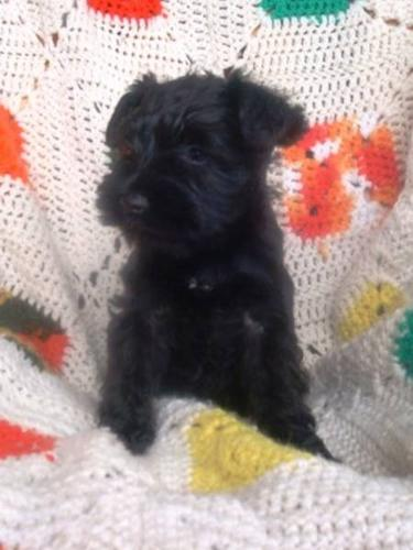 Mini Schnauzer CKC Registered.