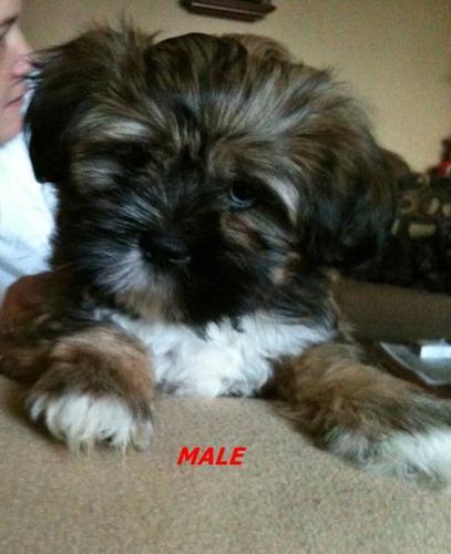Mini Schnauzer Shih Tzu Puppies For Sale Etobicoke For