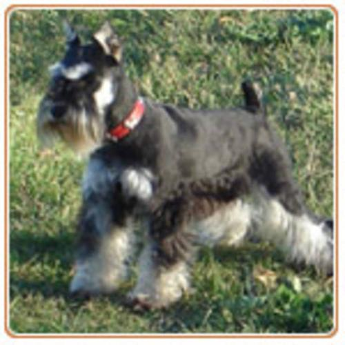 Miniature Schnauzer Puppies for sale in Westlock, Alberta