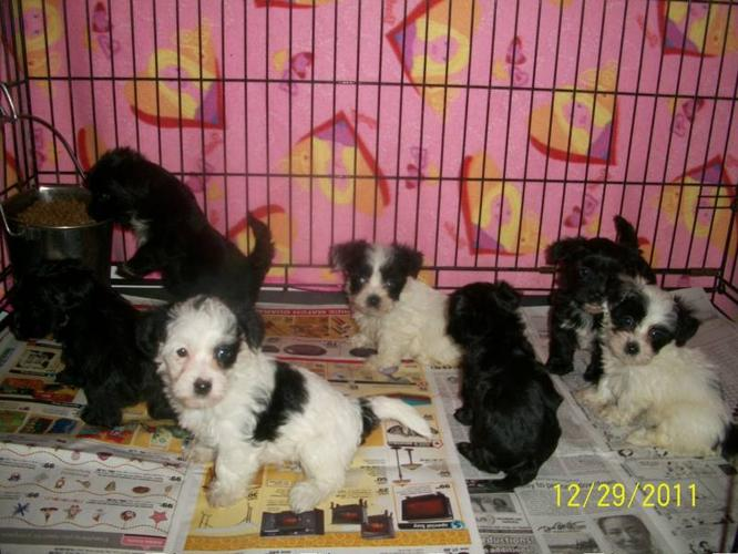 Morkie babies (small puppies big love) for sale in Orillia, Ontario