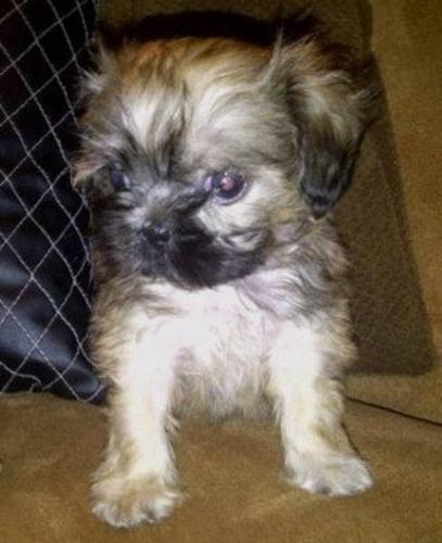 Morkies - Cross of Yorkshire Terrier and Bichon Maltese