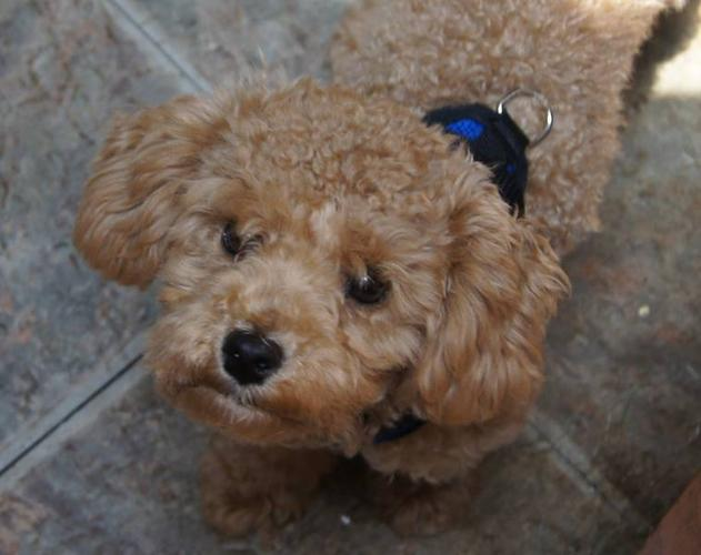 Neutered Apricot Toy Poodle