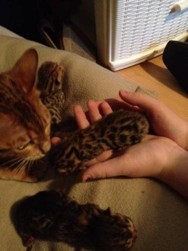 New Bengal Kittens!!