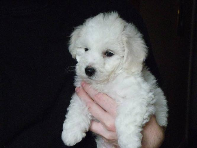 New Pictures ! Bichon Frise Puppies for sale in Oakville