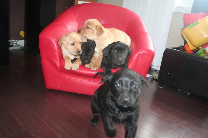 NEW PICTURES!!!! LAB/RETRIEVER/GERMAN SHEPHERD Puppies For Sale