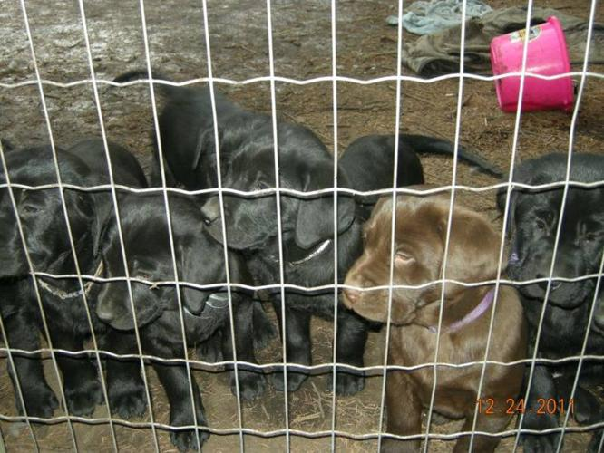 Non Registered Black Lab Puppies
