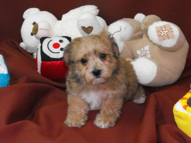 Non Shedding Small Bichon Frise X Yorkshire Terrier For Sale In