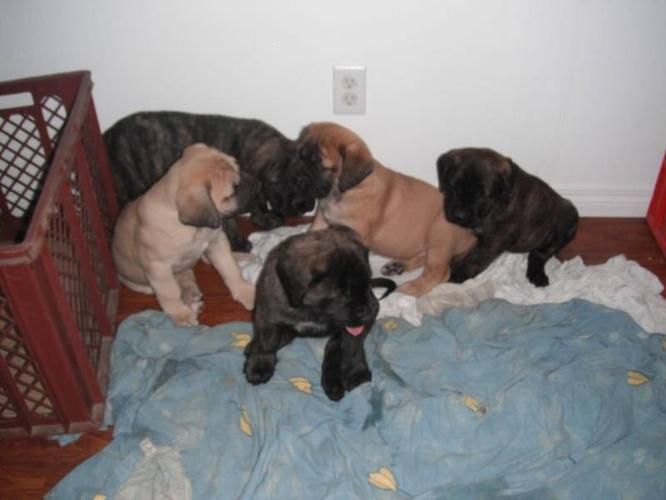 ONE LEFT Pure breed English Mastiff Puppy (parents CKC Reg)