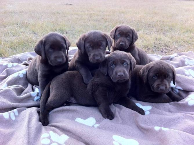 Only 1 Beautiful Pure Chocolate Lab Puppy