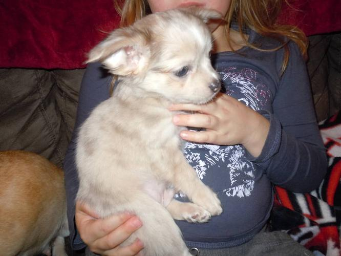 Only 1 girl and 1 boy left, Chihuahua pups