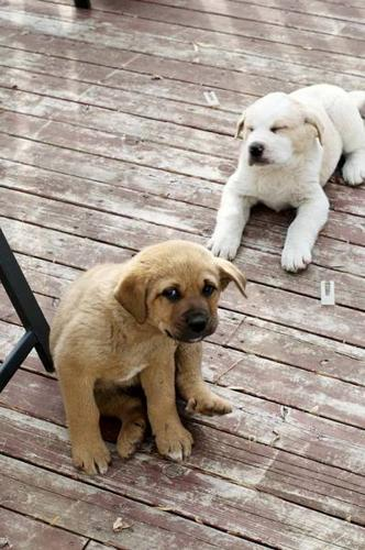 ONLY 3 LEFT!! PUPPIES ST.BERNARD/ROTY/LAB MIX