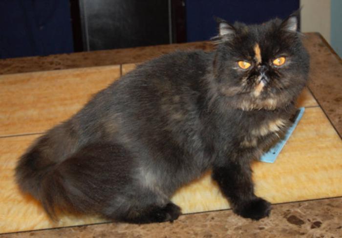 Persian Cat !