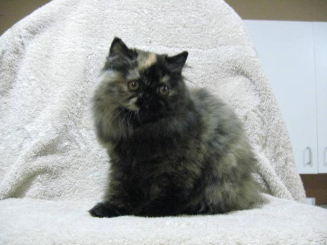 Persian female kitten