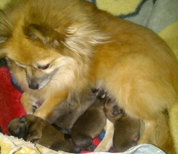 Pomeranian Babies For Sale In North Saanich British Columbia